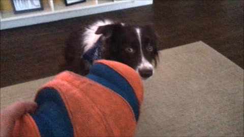 Border Collie Is Unsure About A New Toy And Refuses To Touch It