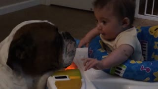Loving Bulldog showers baby with kisses