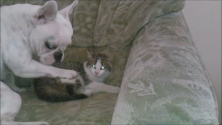 French Bulldog attempts to befriend cat