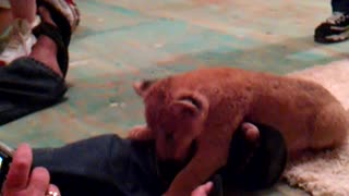 Baby Lion Attacks Foot  - Video