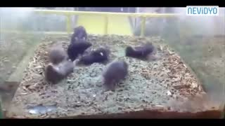 Hamster Harlem Shake - Video