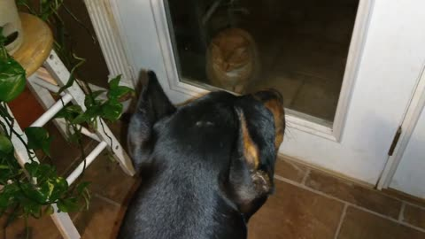 Doberman Wants To Go Outside With Cat