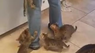 Kittens swarm owner for their breakfast - Video