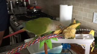 Conure dancing and eating  - Video