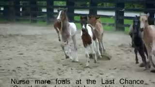 A Bunch Of Baby Horses Play Aimlessly Round The Stable