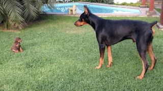 Brave Tiny Puppy Challenges Larger Doberman Dog - Video