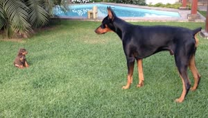 Precious puppy challenges larger Doberman dog - Video