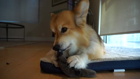 Adorable Corgi enjoys new chew toy