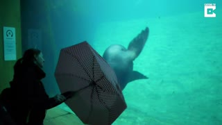 Adorable Sea Lion Performing Tricks With Umbrella - Video