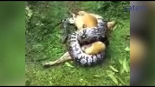 Miracle as owner saves dog from python's clutches - Video