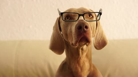 Dog looking smart wearing glasses