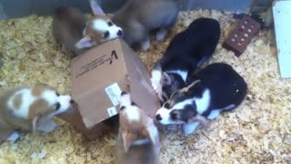 Adorable Corgi puppies attack cardboard box