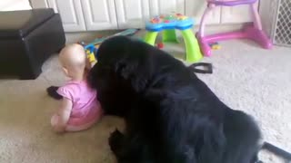 Giant Newfoundland shows love to little baby - Video