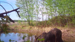 Baby Moose heading to the pond - Video