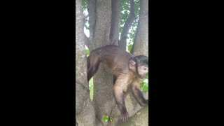 Monkey Willow in a tree  - Video
