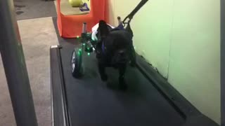 Paralyzed pup runs on the treadmill