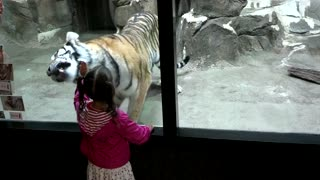 Tiger Wants To Play With Little Girl At The Zoo - Video