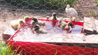 Baby ducklings  - Video