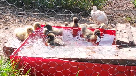 Baby ducklings