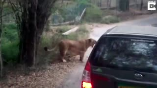 Angry Lion Attacks Safari Car In India - Video