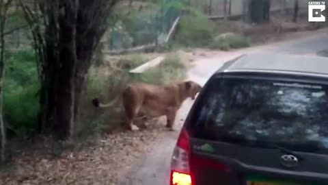 Angry Lion Attacks Safari Car In India