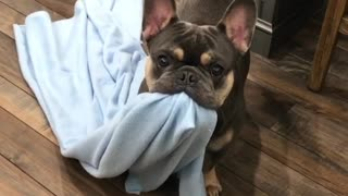 French Bulldog grabs blanket in anticipation for bedtime