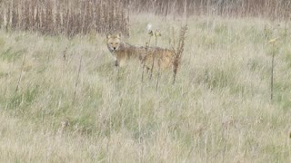 Encounter With A Chicago Coyote - Video