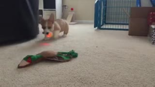 Corgi Ninja Focus Fetch - Video