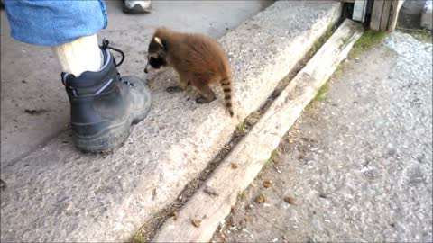 Rescued baby raccoon waits for owner everyday after work