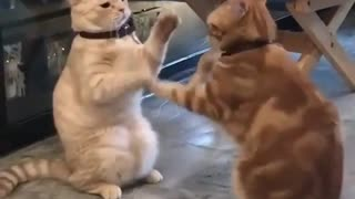 Two cats playing as human