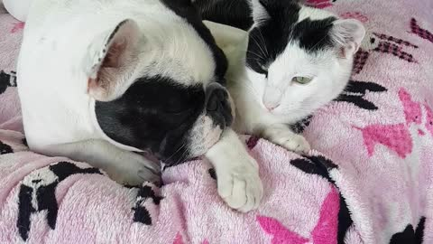 French bulldog just adores her cat and is very affectionate.