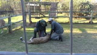 Cheetah Attacks Guide in South Africa - Video