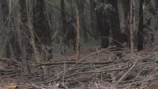 Two kangaroos caught fighting in the woods - their reaction is priceless! - Video