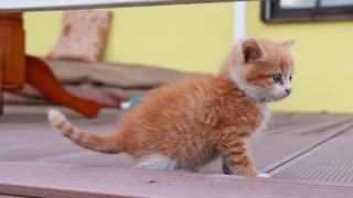 Kitten trys to intimidate camera man  - Video