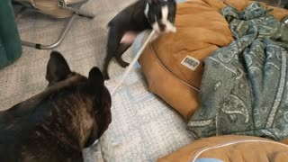Boston Terrier puppy and French Bulldog play tug
