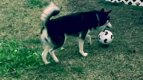 Young Husky Pup Plays Soccer