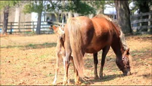 Adorable 6-day-old pony stays close to mother - Video