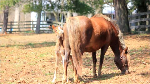 Adorable 6-day-old pony stays close to mother