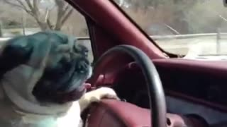 Brown pug driving car moving steering wheel  - Video