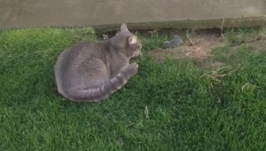 Cat vs. Gopher - Video