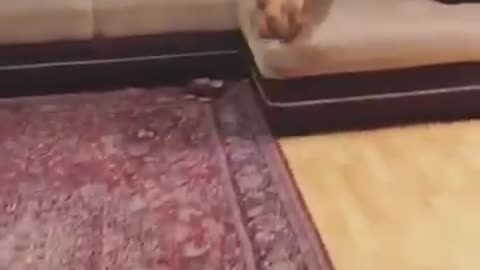 Brown dog runs away from hairdryer hides under pillows on couch