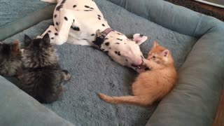 Litter of foster kittens play with gentle Dalmatian