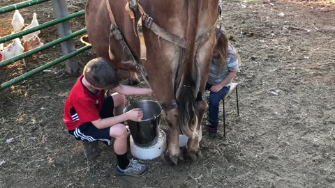 Kids Tag-Team Milking a Cow
