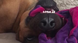 Dog sleeping on couch pink purple toy face - Video