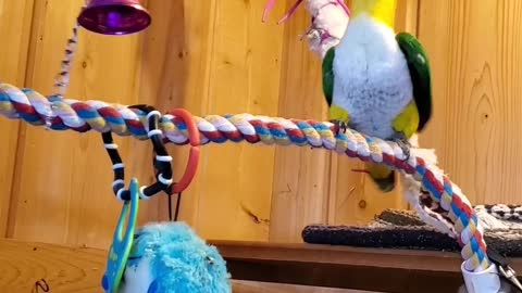 Parrot making music with bell and dancing