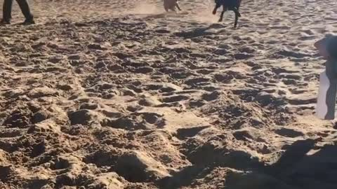 Two Dogy Playing On the Beach