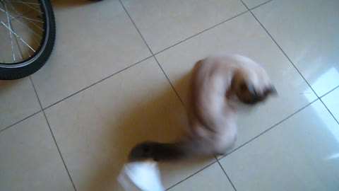 Cat chasing its tail