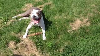Beautiful dog enjoying the summer - Video