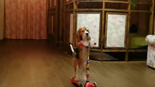 Clever Beagle Riding a Scooter