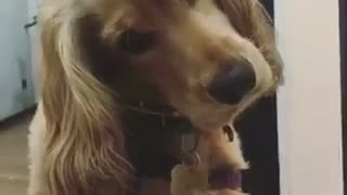 Brown dog confused tilts head at spanish - Video